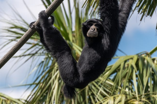 A siamang hangs out along a rope. An optimistic zookeeper in the 1970s discovered a siamang in his charge wasn't all fun and games. [ERIC KILBY/FLICKR]