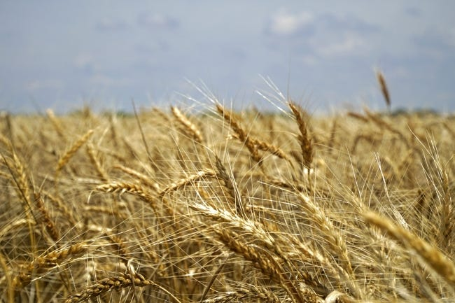 With Russia's wheat crop reported as possibly the worst in a decade, U.S. wheat prices should benefit. Here, wheat is seen in a field near Hobart. [The Oklahoman Archives]