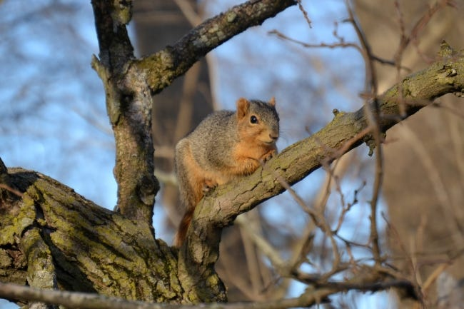 It gets cold in the winter season. The year-round resident tree squirrels in your home's backyard are in need of a safe, secure place to best deal with the chilly winter nights. [ANDREW CANNIZZARO/FLICKR]