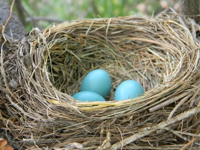 By saving your usually discarded breakfast eggshells now, you can make a difference in the spring when birds are preparing for their own nest of eggs. [LASLOVARGA/WIKIMEDIA COMMONS]