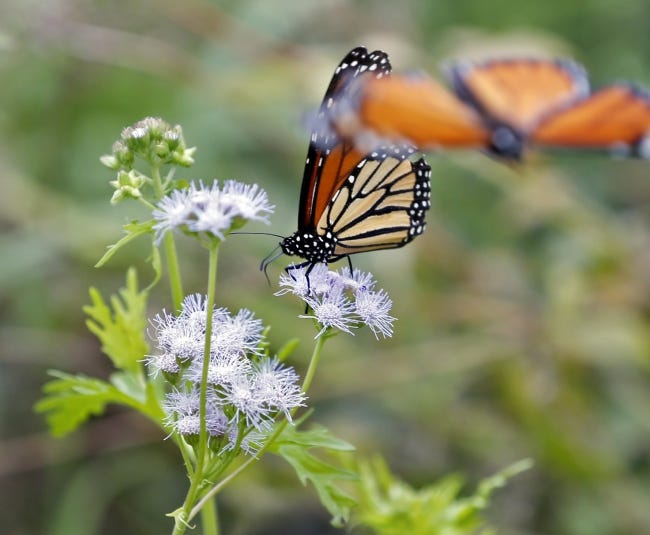 Monarch butterflies flock to milkweed on Aug. 23, 2018, in the Oklahoma Prairie Garden at the Myriad Botanical Gardens. This year, encourage more good bugs and butterflies to make their homes in your gardens. [The Oklahoman Archives]
