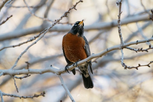 A robin perched on a bare tree limb during early February isn't rushing in spring. [EMILIE CHEN/FLICKR]