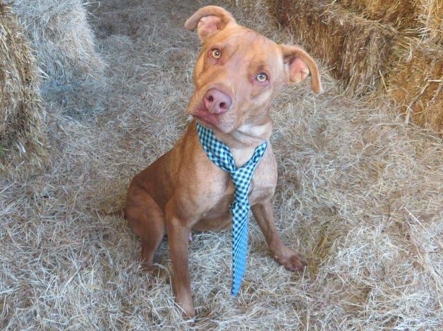 Elvis is one of the dogs available for adoption from Oklahoma City Animal Welfare. [PHOTO PROVIDED]