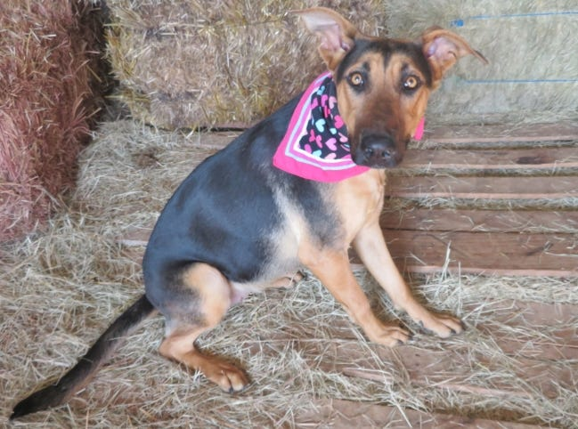 Clarice, a beautiful 1-year-old, 67-pound German shepherd, wants to be your Valentine. This gentle dog knows basic commands and is good with other dogs. She's a fast learner and likes to please. Clarice's number at the Oklahoma City Animal Shelter is 352152, and her adoption fee is $60. All pets are spayed and neutered, have a microchip, and have had age-appropriate shots and a health check. The shelter is open from noon to 5:30 p.m. seven days a week at 2811 SE 29. For more information, go to www.okc.petfinder.com and www.okc.gov. [PHOTO PROVIDED]