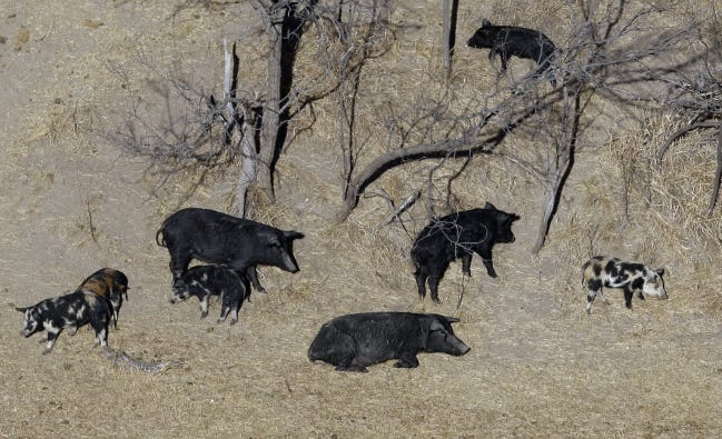 Feral pigs roam near a Mertzon, Texas, ranch in 2009. Oklahoma agriculture officials have targeted counties to concentrate their feral swine eradication efforts, places where they think they can make a difference in curbing the problem. [AP Photo/Eric Gay, File]