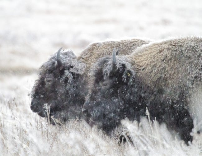 Bison in the snow at the Tallgrass Prairie Preserve near Pawhuska. More than 25,000 people visit the preserve annually to view the more than 2,500 bison that roam freely on its 40,000 acres. [PHOTO BY LUCINDA BENTON]
