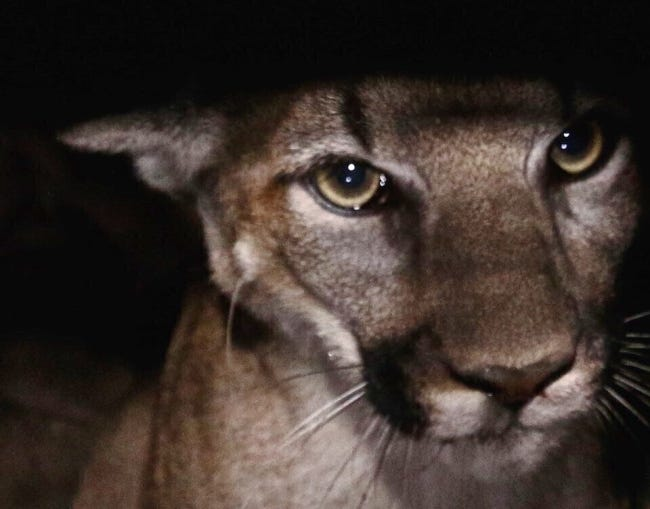 A state lawmaker has introduced a bill to legalize mountain lion hunting in Oklahoma. [National Park Service via AP, File]