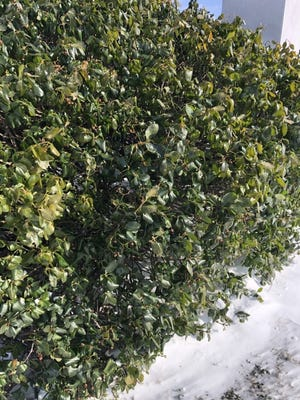Euonymus hedge with freeze burn on many of its leaves, and bronzed or pale foliage from dehydration and sustained cold temperature stress. [PROVIDED/RODD MOESEL]