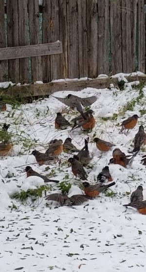 Robins have been swarming Oklahoma City area neighborhoods and their sightings has generated a lot of discussion on social media. [FELICIA MURRAY/THE OKLAHOMAN