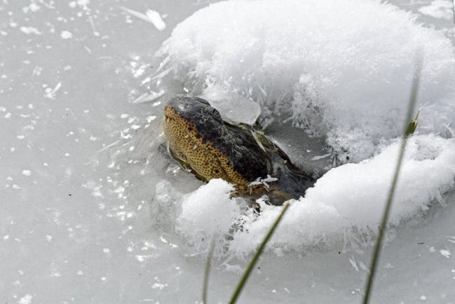 An alligator at the Red Slough Wildlife Management Area in McCurtain County lifts his snout above the ice last week. There is a a small population of alligators on the Red Slough wetlands in the southeastern corner of Oklahoma, and last week they went into a hibernation-like behavior called brumation to survive. [DAVID ARBOUR/ODWC]