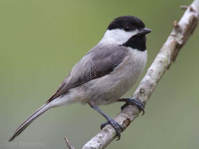 A Carolina chickadee perches on a small limb. In the fast-paced world of backyard birds, it's difficult to really know how many wild birds are taking advantage of your birdfeeder's hospitality. [DAN PANCAMO/FLICKR]