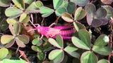 You may have heard of the pink panther, but what about a pink grasshopper?