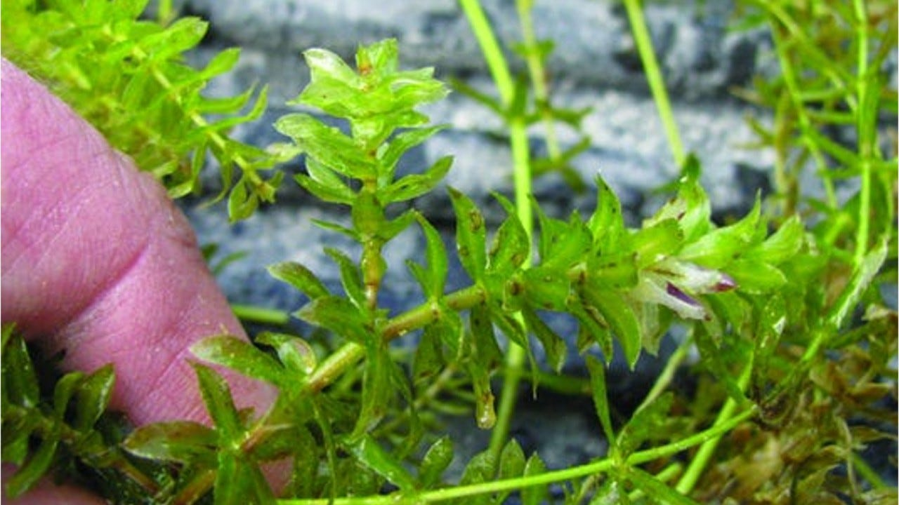 Video: This weed could impede boaters
