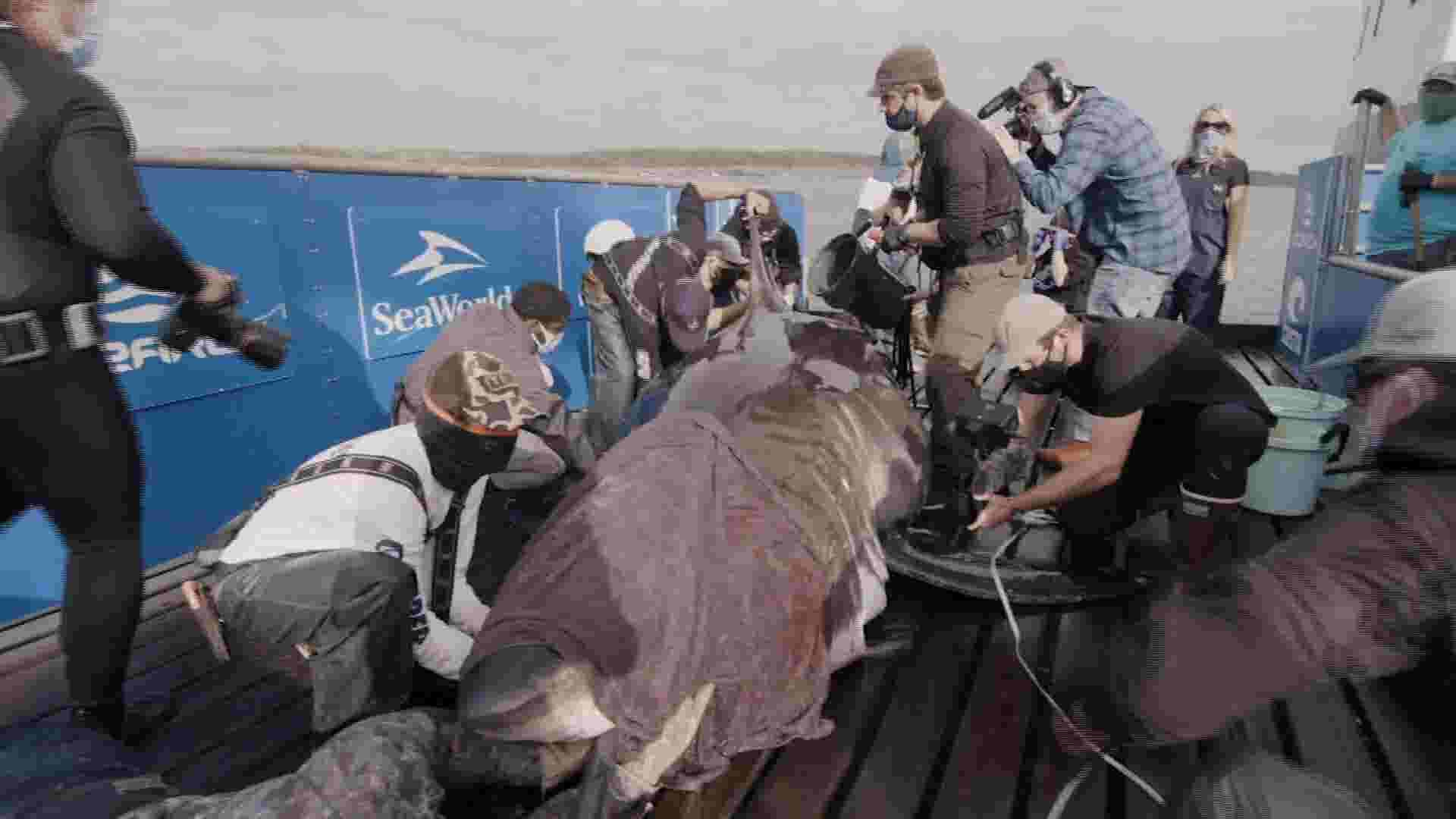 Tagged white shark in Atlantic may be pregnant