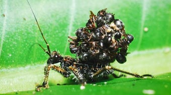 """Acanthaspis petax hide from predators by wearing its victim's carcasses as a """"mask."""""""