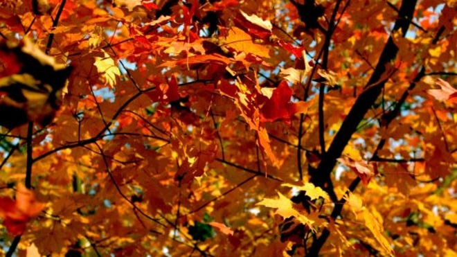 Nashville S Hot Dry Weather Could Affect Leaves Fall Colors Change