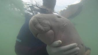 A well-known dugong has died off the coast of Thailand.