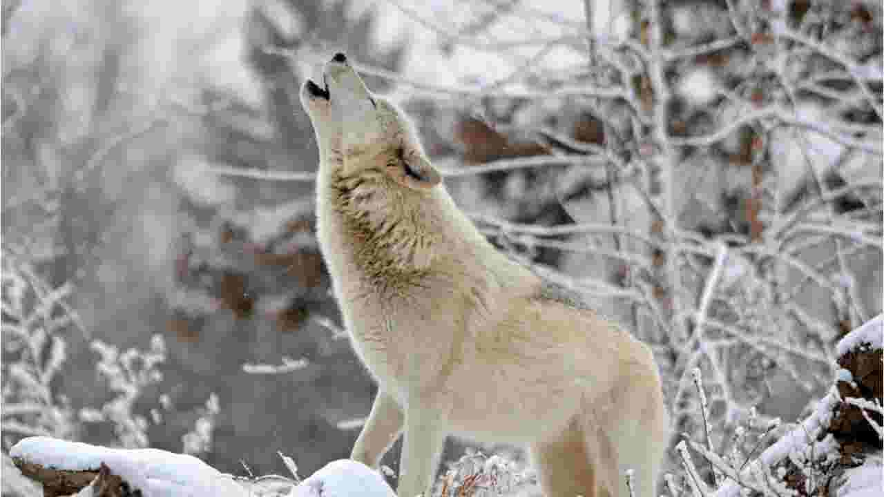 Gray wolves could be dropped from endangered species list