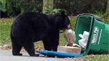 The Florida Fish and Wildlife Conservation Commission estimates there are about 4,400 bears throughout the Sunshine State. Learn how to stay safe .
