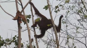 The apes will finish rehabilitation and be set free in one of Borneo's national parks.