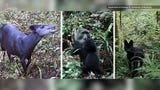 Rare antelopes, black serval cats, and other species were caught on film on Mount Kilimanjaro in Tanzania. The antelope species cannot be found anywhere else in the world and was only photographed as recently as 2003.