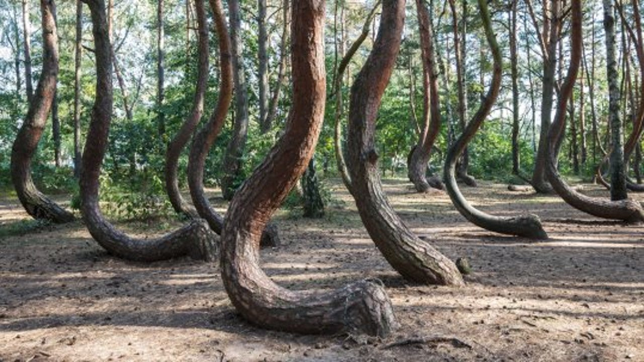 See This Mysterious Stand Of Crooked Trees In Poland