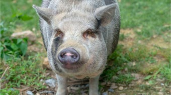 A York County family has a pair of potbellied pigs as emotional support animals, but the township says they are livestock.