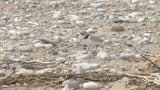 Trouble is brewing for the piping plover, already one of the Great Lakes region's most endangered bird species, as water levels surge during a rain-soaked spring that has flooded large areas of the Midwest. (June 17)