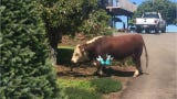 Seven cows and one bull broke free from a field Thursday and wandered into a neighboring Christmas tree farm in South Salem.