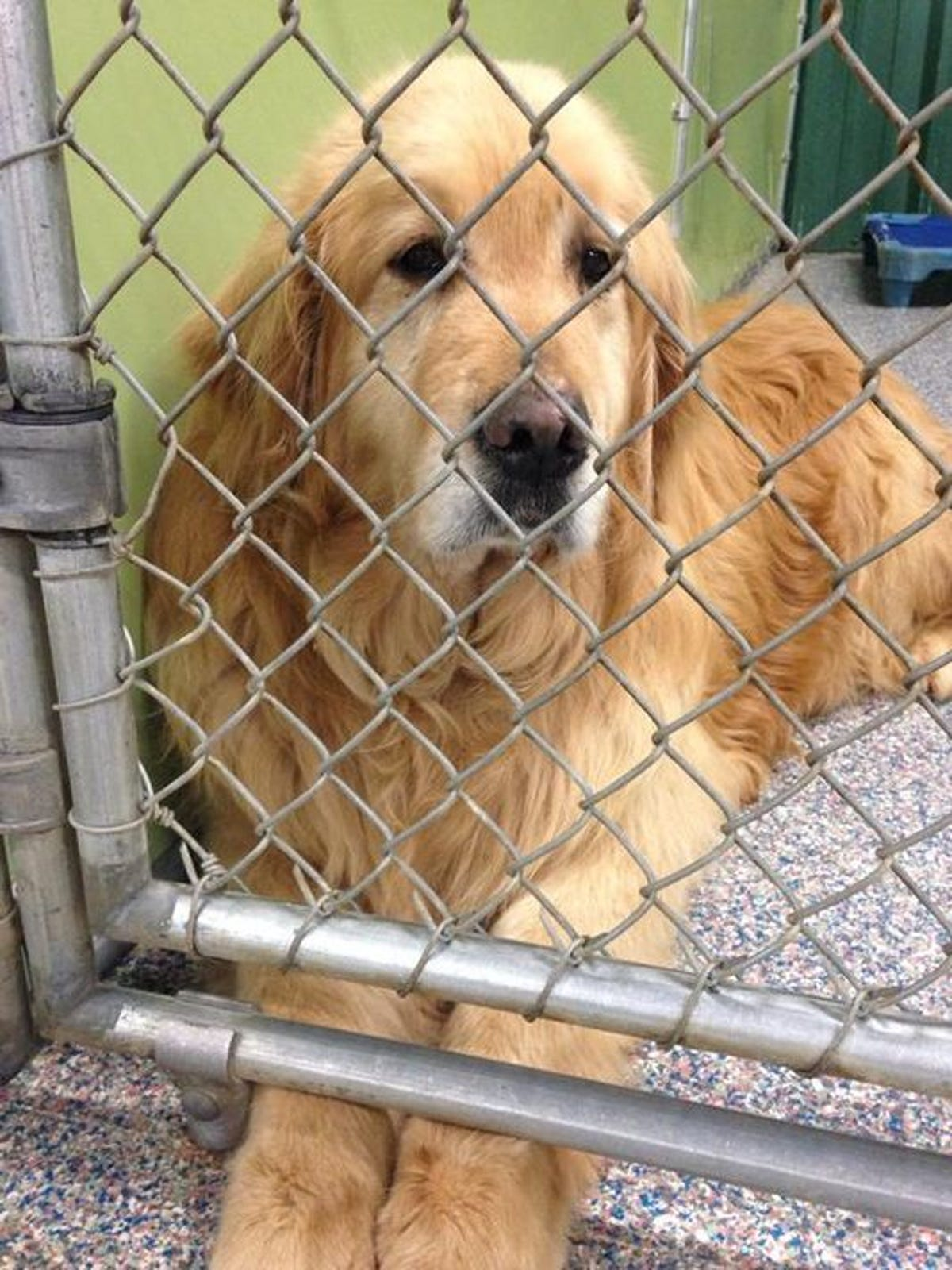 36 abandoned golden retrievers rescued from Turkey