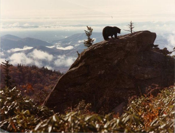 Hugh Morton, who owned Grandfather Mountain, took this iconic shot of a bear roaming the high peaks. Morton died in 2006.