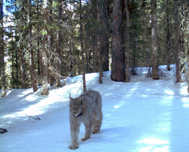 In this April 20, 2011 photo, provided by the Colorado Department of Parks and Wildlife, a rare lynx is captured by remote research camera, prowling along in the snow of the San Juan Mountains, in southwestern Colo. Scores of lynx roam the remote Colorado high country, 16 years after they were reintroduced to the state. But the elusive animals are rarely seen or photographed. Using automated cameras mounted in trees, researchers are studying where lynx live and how well they're doing, said Eric Odell, manager of Colorado Parks and Wildlife's carnivore conservation program.