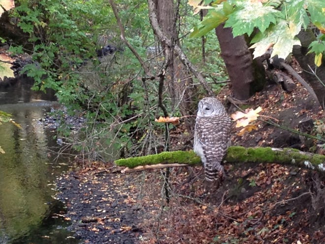 A barred owl was spotted along Mill Creek by the Department of State Lands building on Oct. 29, 2015. A barred owl started attacking people in that area in December.