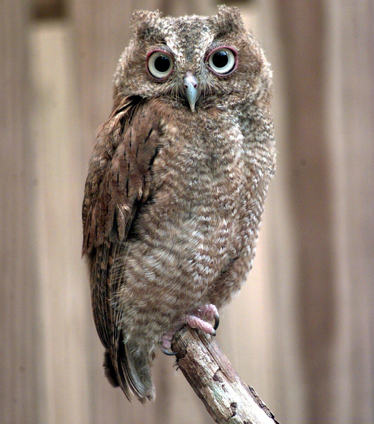 Two Rivers Woodland Dunes: Screech owls have many impacts on