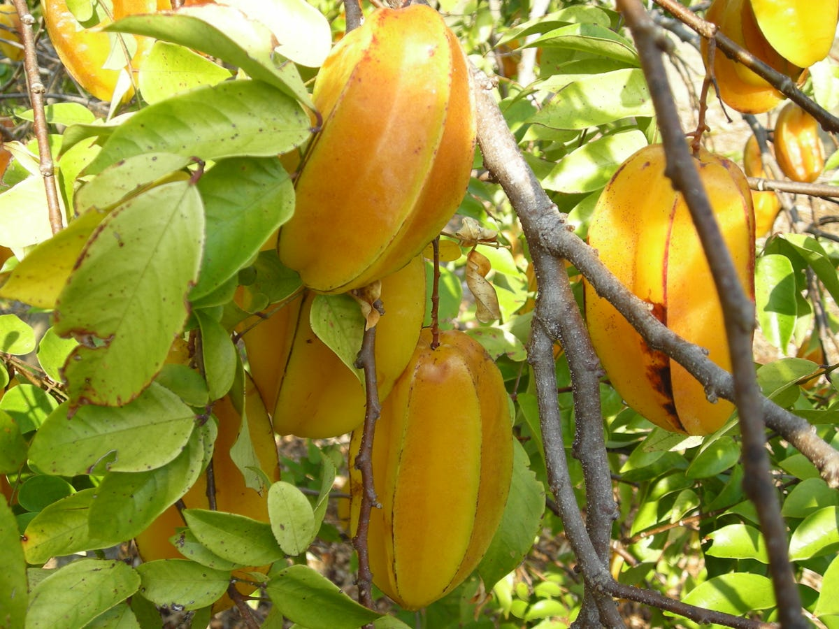 Tropical fruits within reach in SWFL yards