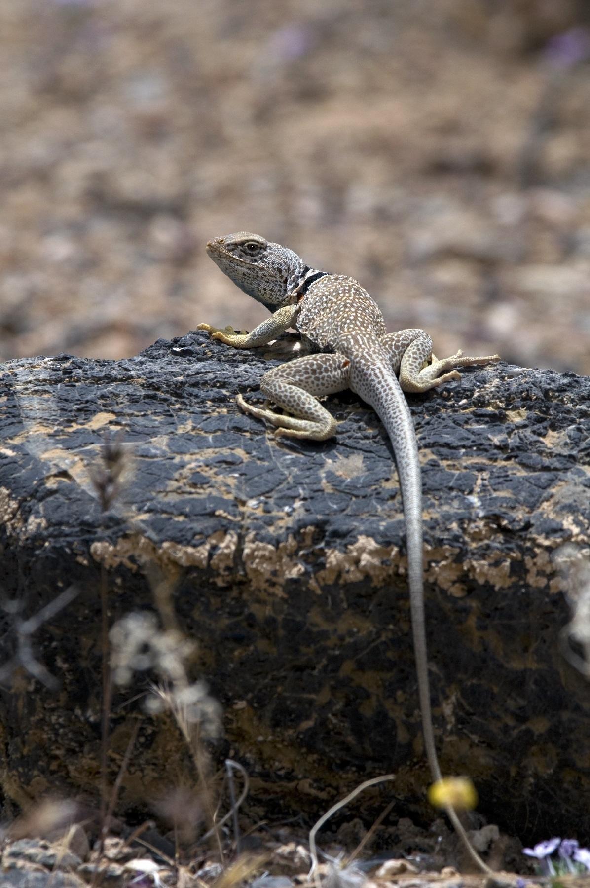 How the Lizard Got Back Her Legs