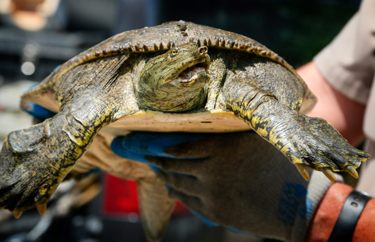 Iowa seeks to save turtles, but trappers fear cultural loss