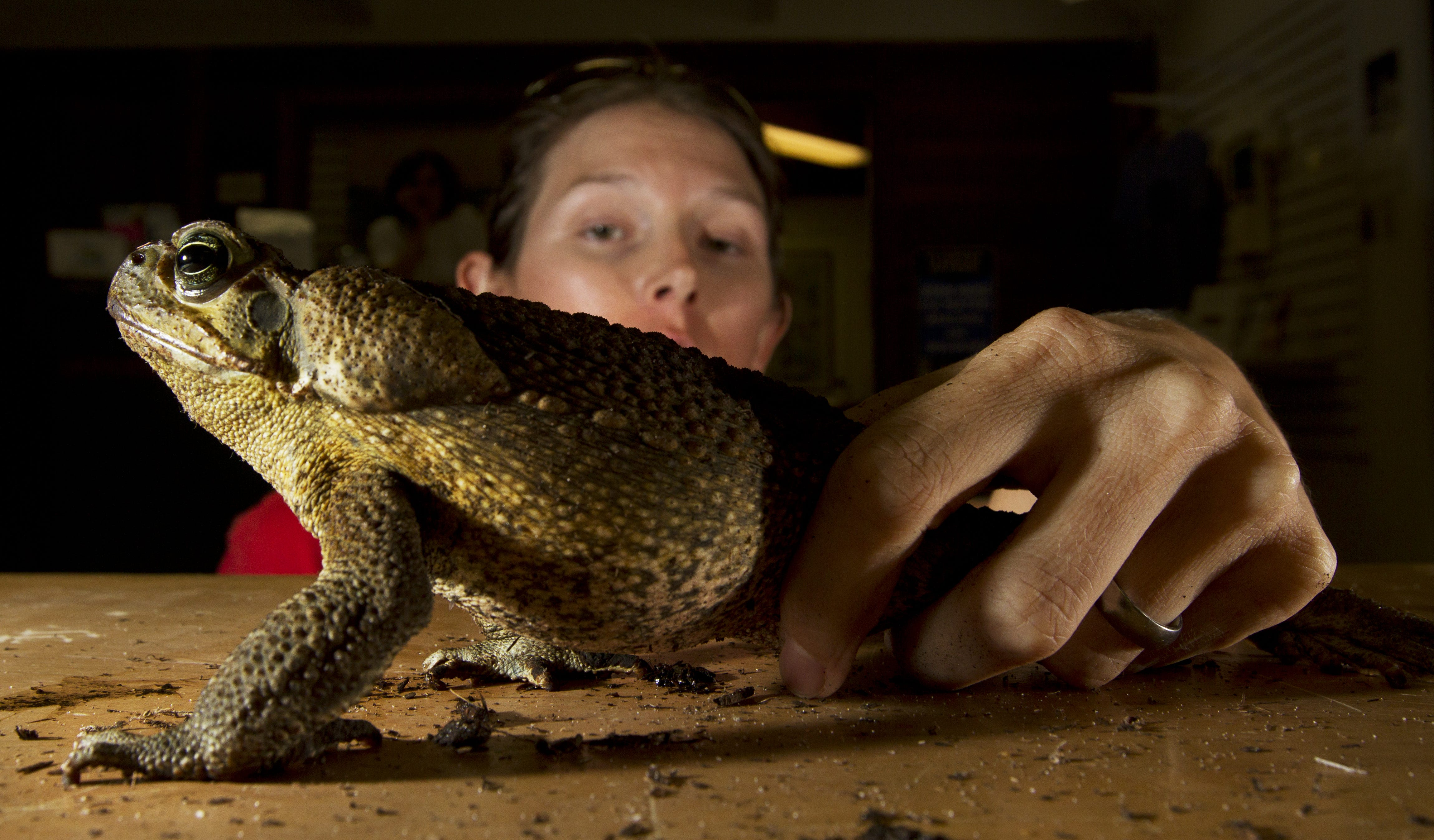 Toxic toads infested a Florida neighborhood. Here's what to know about cane toads.
