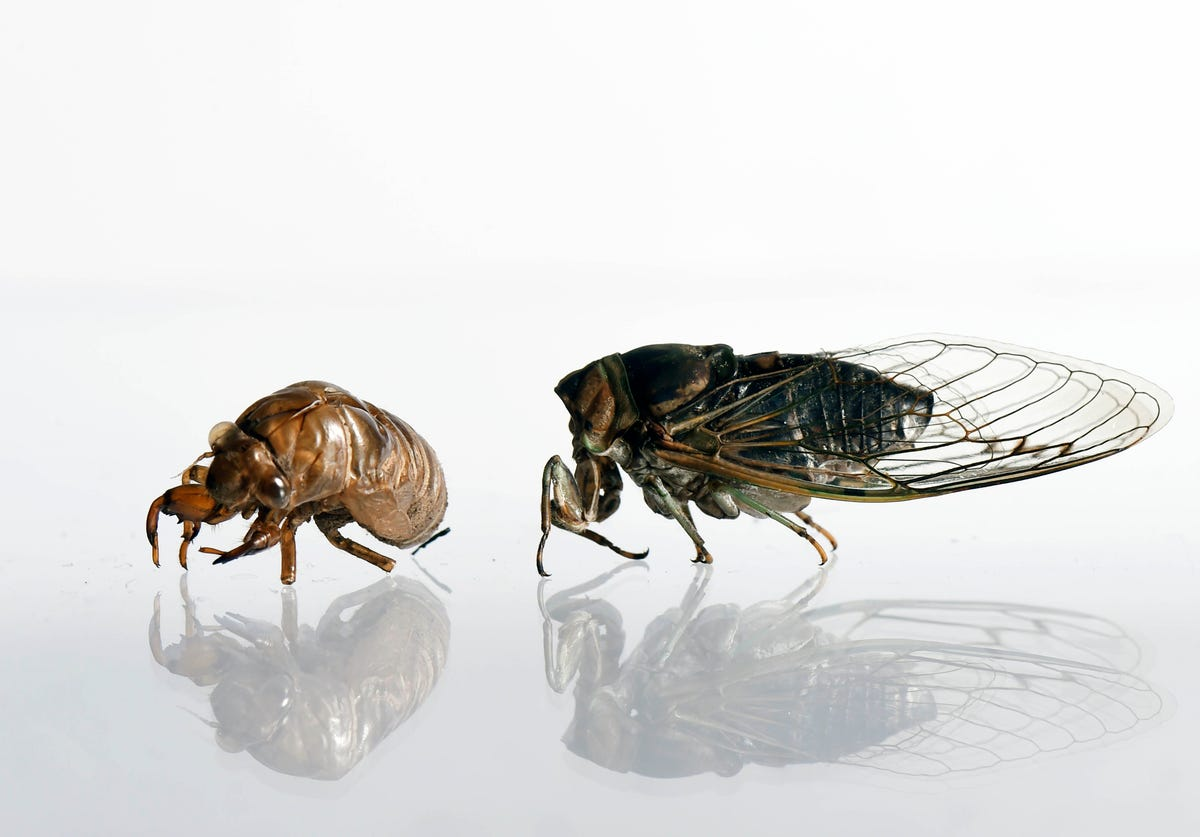 How cicadas make that noise, and when it will end