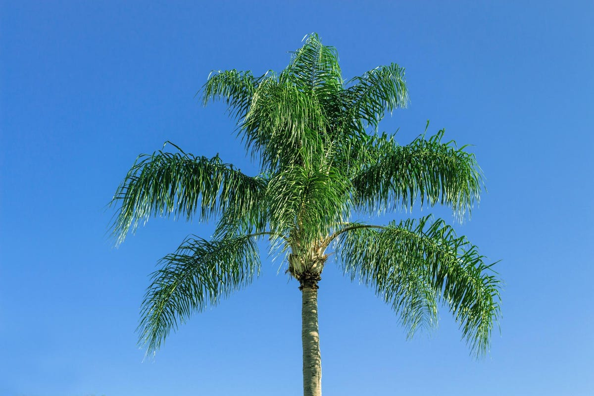 Take better care of your queen palms