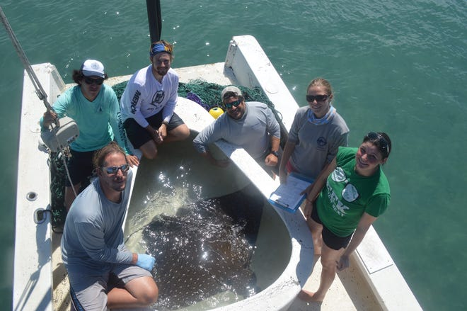 The Harbor Branch effort to tag sharks and rays in the Indian River Lagoon yielded this giant spotted eagle ray in the Sebastian Inlet. It was tagged and released.