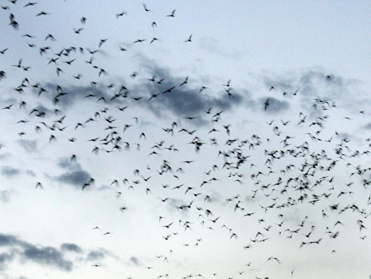 The Phoenix batcave: Thousands of bats take flight from tunnel