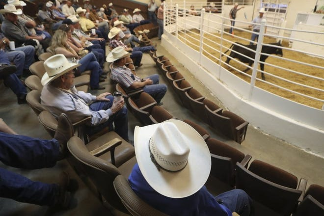 Buyers and sellers watch and bid on livestock at the Shasta Livestock Auction Yard in Cottonwood. 2016 was the yard's 50th anniversary.