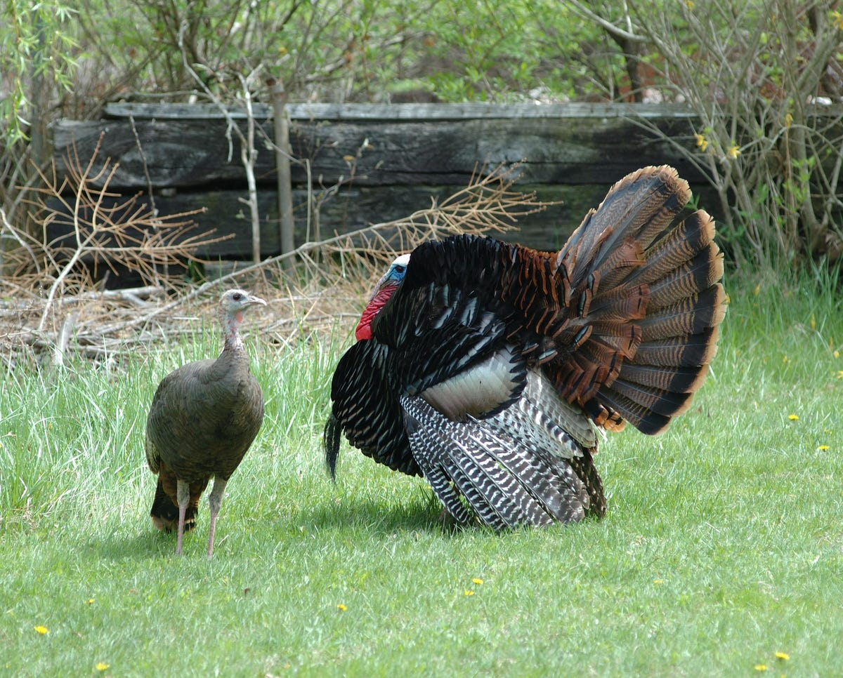 "Gobble"" isn't the only sound turkeys make"
