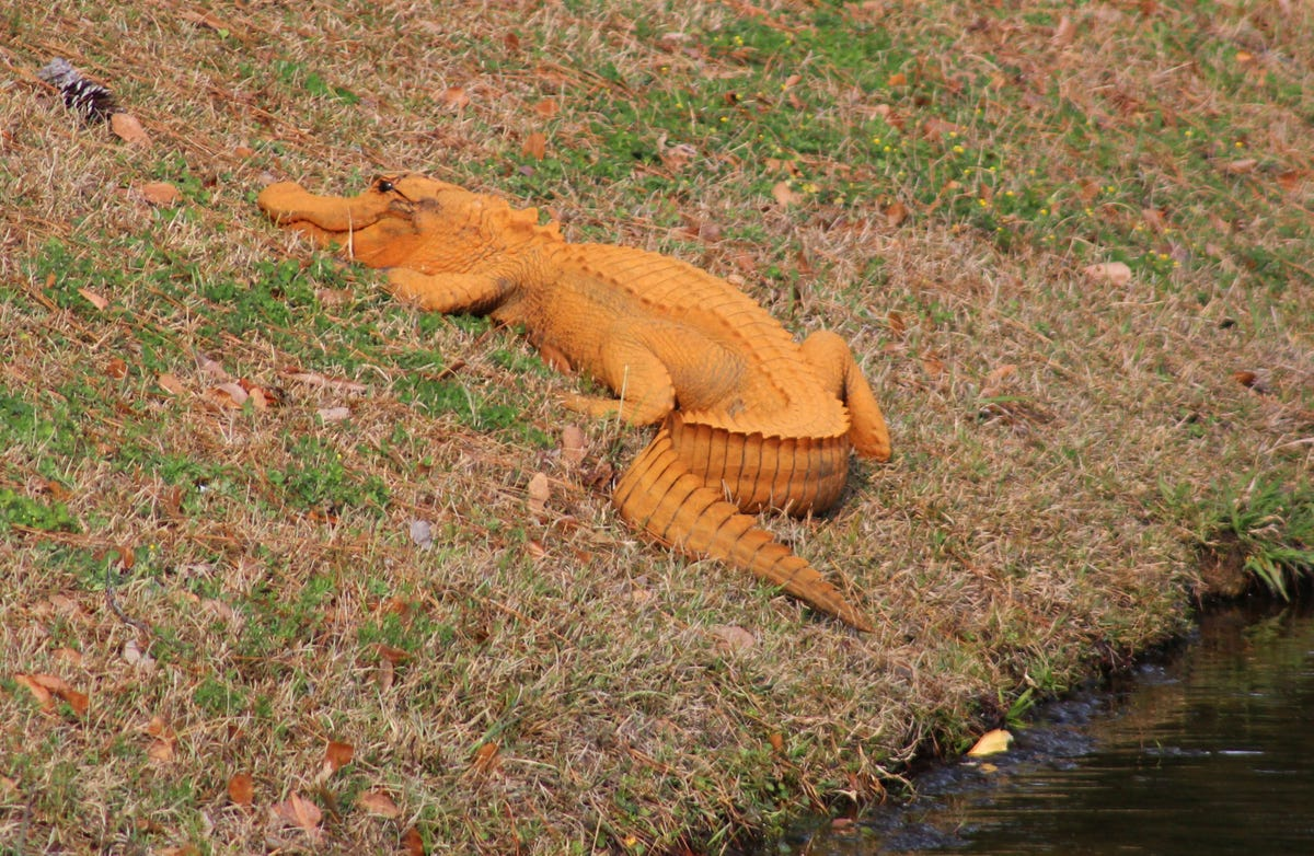 Mysterious Orange Alligator Spotted In South Carolina