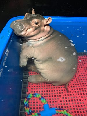 Fiona the Hippo strikes a pose in her pool.