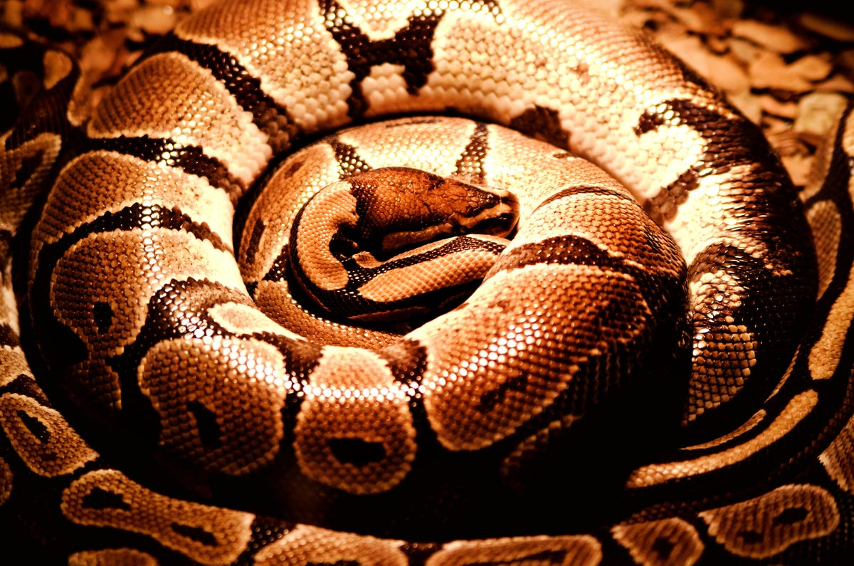 Pythons can kill a human in minutes and swallow them in an hour