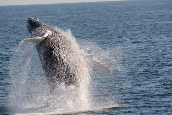 Scenes of a whale from the Cape May Whale Watcher.