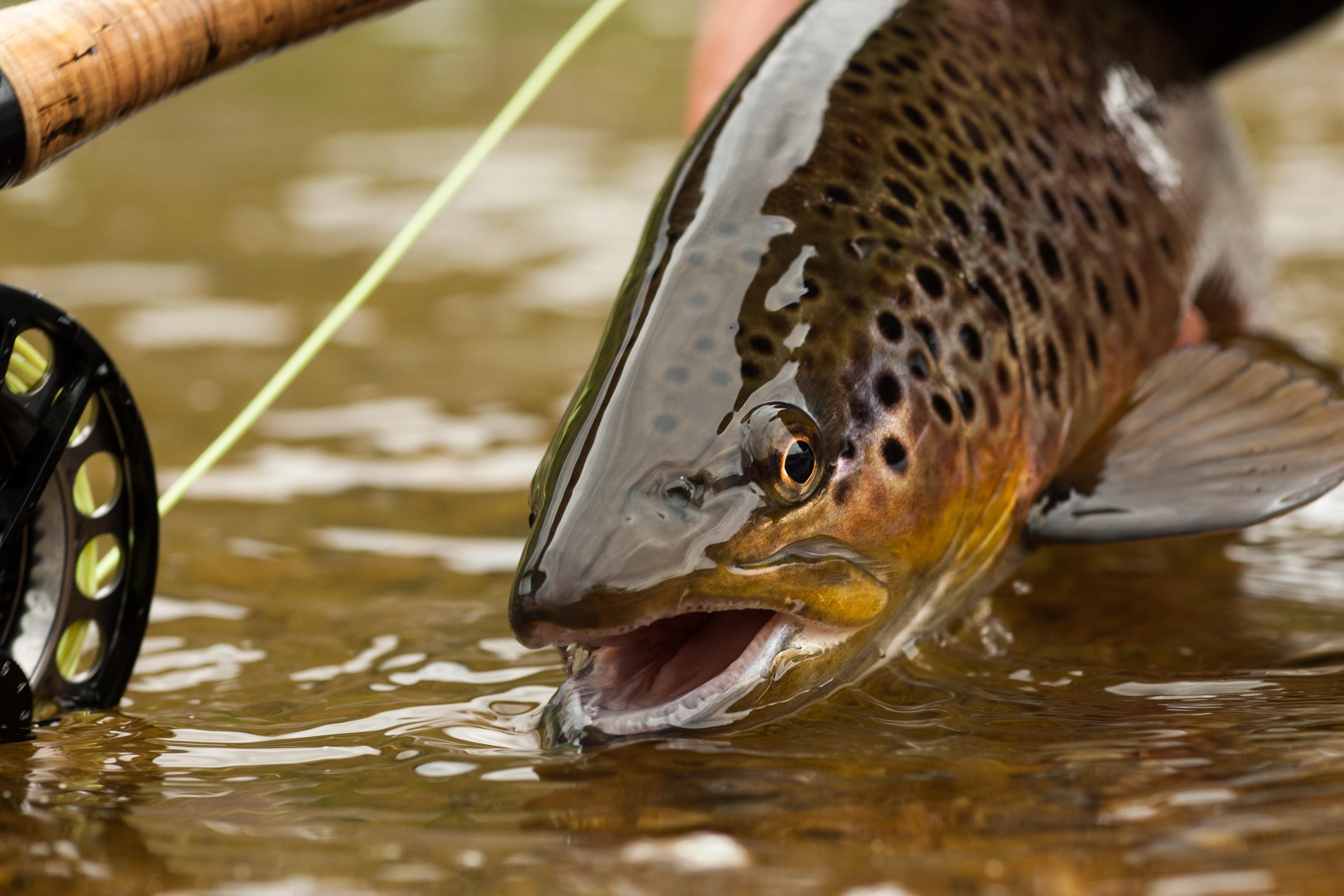 The National Park Service plans to cut invasive brown trout population