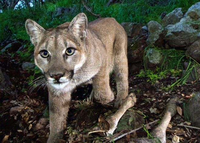 The National Park Service, using a remote camera, captured this image of a female mountain lion in February 2015 in the Santa Monica Mountains National Recreation Area near the Los Angeles and Ventura county line.